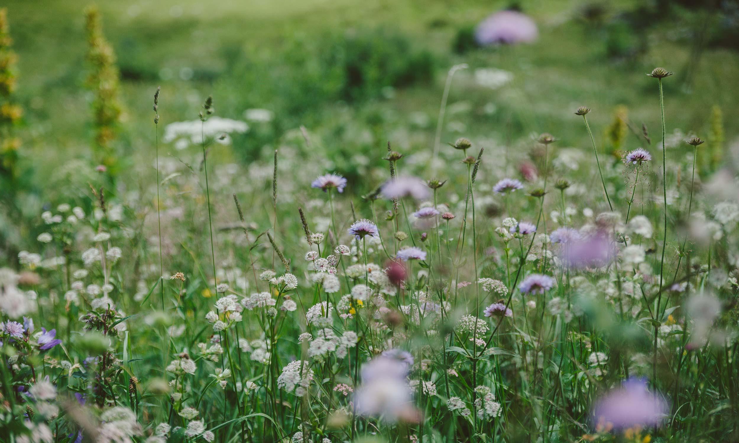 Almwiese mit verschiedenen bluehenden Blumen